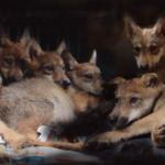 Nace una camada de 8 lobos mexicanos, especie en peligro de extinción